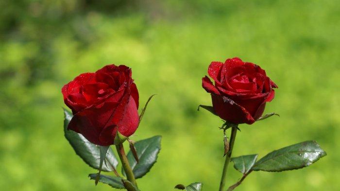 """""""io stesso mi son fatto rosa (Zaher Rezai)"""
