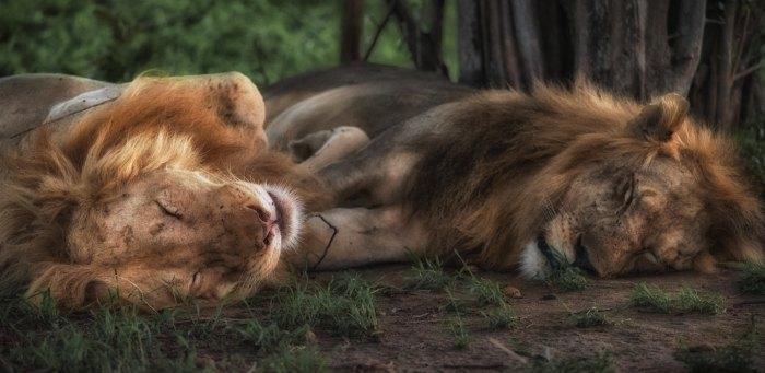 leoni che dormono